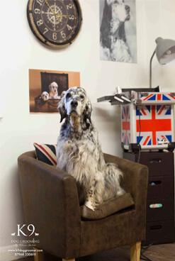 english setter grooming