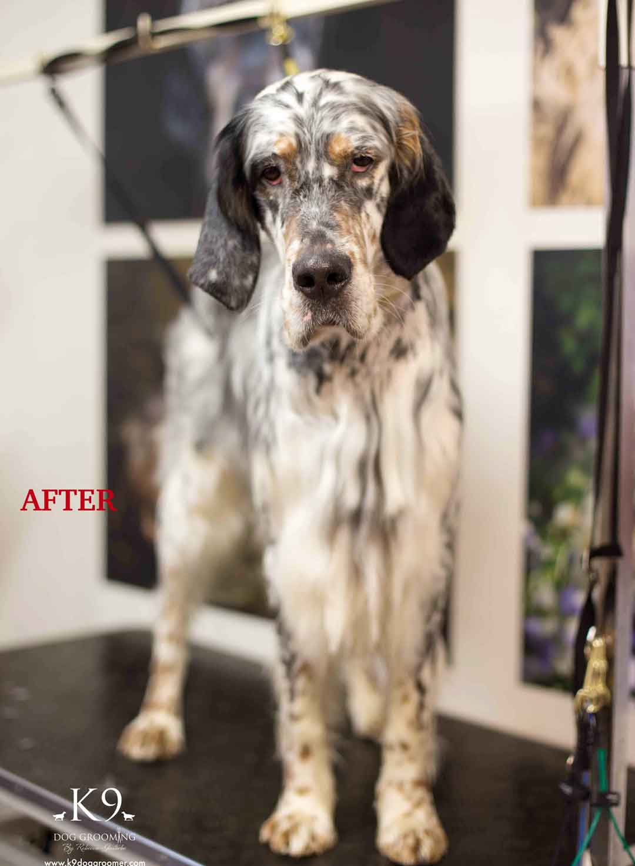 english setter dog grooming