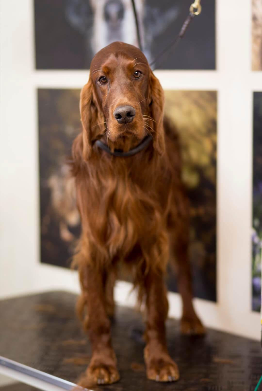 SETTER DOG GROOMING UK