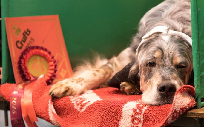setter show dog grooming derbyshire