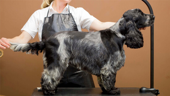 spaniel clipping-trimming-styling