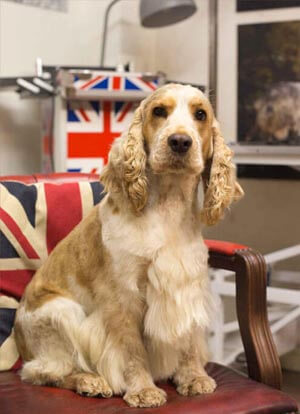 spaniel dog grooming uk
